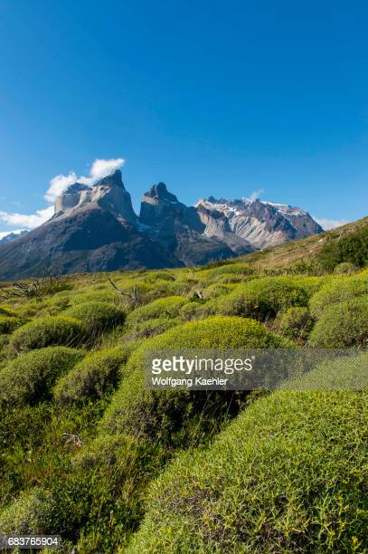 View of Cuernos del Paine Mountains from Salto Grande trail in Torres del Paine National Park in southern Chile with Mulinum spinosum plants in...