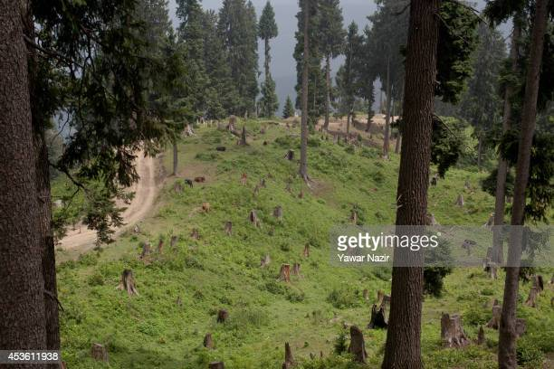 A view of Deodar stumps in recently deforested in the meadows on August 14 2014 in Tosa Maidan 70 km west of Srinagar the summer capital of Indian...