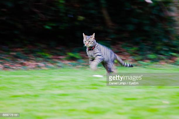 View Of Domestic Cat Running Outdoors