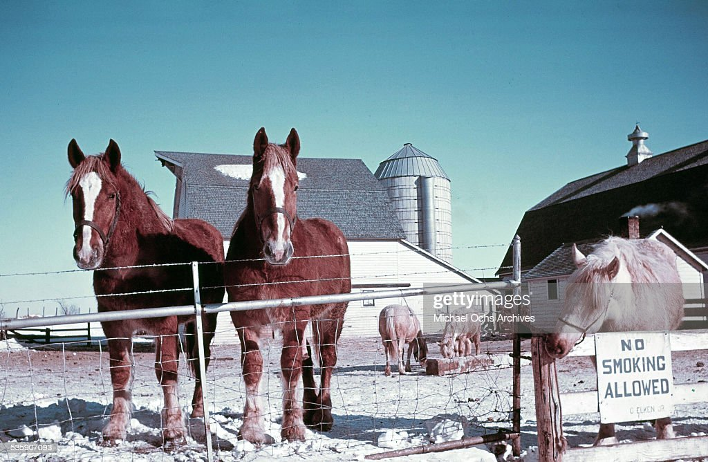 A view of draft horses standing in the pasture in the winter in North Dakota.