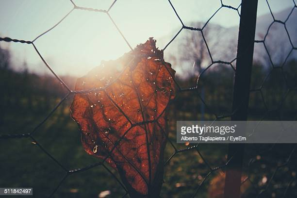 View of dry leaf hanging on chain link fence in sunlight