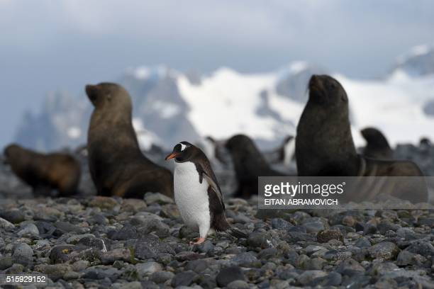 View of Gentoo penguins and seals at the Yankee Harbour in the South Shetland Islands Antarctica on March 06 2016 Waddling over the rocks legions of...