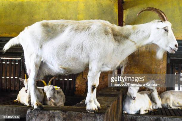 View Of Goats In farm