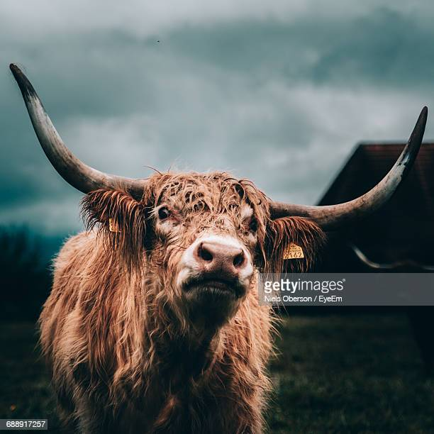 View Of Highland Cow In Field