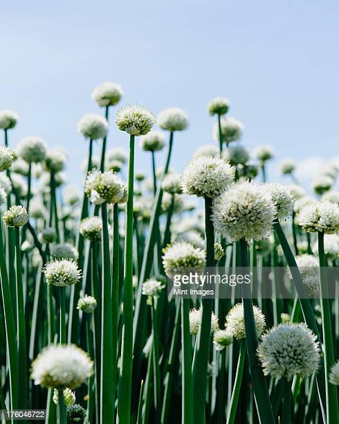 View of large crop of blooming Walla Walla Sweet Onions, near Quincy, USA