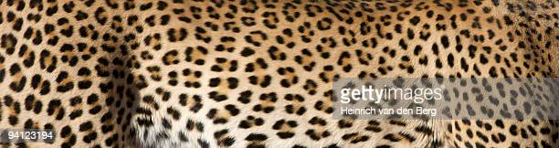 View of Leopard (Panthera Pardus) fur, showing rosettes and patterns