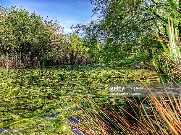 View Of Lily Pads Floating In Pond