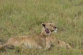 View Of Lioness With Cub