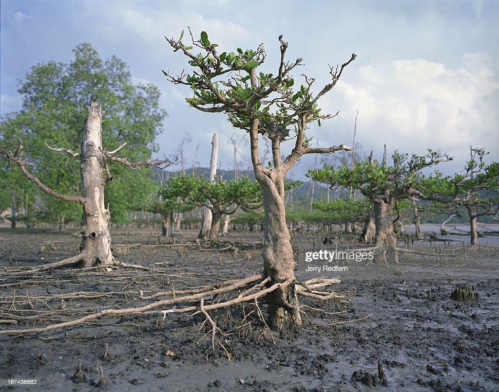 A view of mature and dying mangrove trees (Avicennia sp.) at low tide along a beach in Bako National Park. This swathe of mangrove, home to a large group of endangered proboscis monkeys, is slowly dying, but park officials are not sure why. Visible on the ground are the pencil-thin mangrove roots, branching upward from main roots that grow below the surface and aid absorption of oxygen. The mud that mangrove trees grow in is extremely low in oxygen and other dissolved gasses..