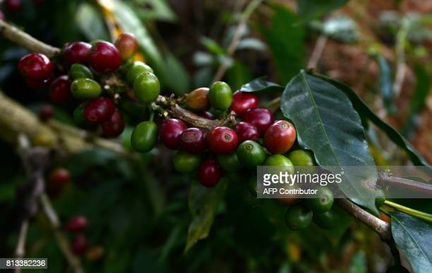 View of organically grown coffee grains ready to be harvested at a plantation near the town of Satipo in the VRAEM region on June 28 2017 The...