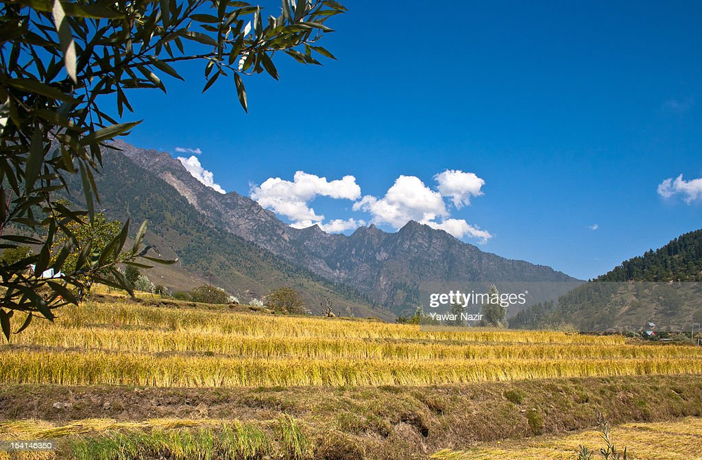 A view of paddy fields ready to harvest on October 15, 2012 in Sonamarg ,89km (55 miles) east of Srinagar, the summer capital of Indian administered Kashmir, India. Sonamarg, or 'Golden Meadow' is a popular tourist resort northeast of Srinagar, the summer capital of Indian administered Kashmir. Besides pine forests, gushing streams and snow-covered mountains, Thajiwas Glacier is a major attraction for tourists. Kashmir has been a contested land between nuclear neighbors India and Pakistan since 1947, the year both the countries attained freedom from the British rule.