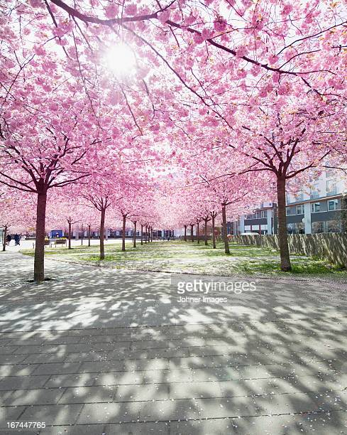 View of park with alley lined with blooming trees