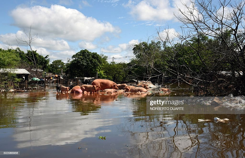 View of pigs looking for a safe point in a flooded neighbourhood in Asuncion on December 20 2015 Constant and heavy rains in the country have caused...