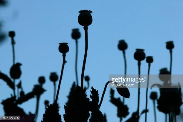 TOPSHOT View of poppies in a poppy field in the state of Guerrero Mexico on January 24 2016 Mexico is being whipped by a drug cartels war disputing...