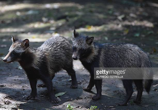 View of raccoon dogs or Tanuki at the Chapultpec Zoo in Mexico City on August 06 2015 A month ago nine raccoon dog pups were born This species is...