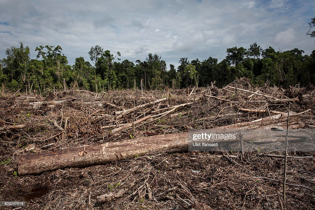 A view of recently land clearing for palm oil plantation of the peatland forest inside Singkil peat swamp Leuser ecosystem, habitat of Sumatran orangutan (Pongo abelii) in Iemeudama village on November 13, 2016 in Trumon subdistrict, South Aceh, Aceh province, Indonesia. The Orangutans in Indonesia have been known to be on the verge of extinction as a result of deforestation and poaching. Found mostly in South-East Asia, where they live on the islands of Sumatra and Borneo, the endangered species continue to lose their habitat as a result of corporate expansion in a developing economy. Indonesia approved palm oil concessions on nearly 15 million acres of peatlands over the past years and thousands of square miles have been cleared for plantations, including the lowland areas that are the prime habitat for orangutans.