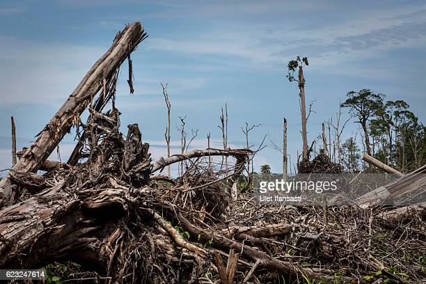 A view of recently land clearing for palm oil plantation of the peatland forest inside Singkil peat swamp Leuser ecosystem habitat of Sumatran...