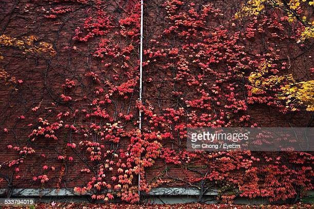 View Of Red Vine On Wall