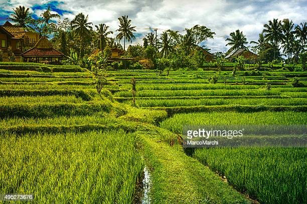 View of rice fields