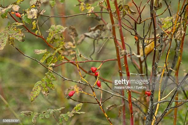 View Of Rose Hips In Autumn