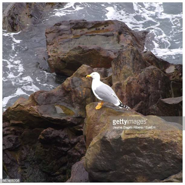View Of Seagull Perching On Rock