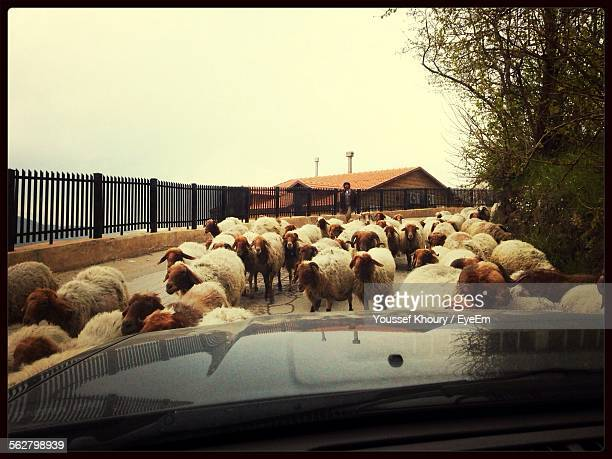 View Of Sheep In Street