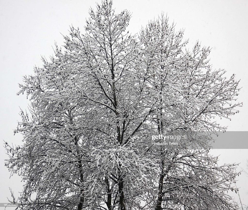 A view of snow covered tree during fresh Snowfall on February 23, 2013 in Srinagar, India. The Jammu-Srinagar National Highway remained closed for the second day on Saturday even as fresh snowfall across Kashmir prompted authorities to issue an avalanche warning in higher reaches of the Valley.