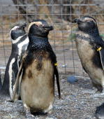View of some of the 141 oil contaminated Magellan penguins at a rescue center in the city of Rawson Chubut on September 15 2010 Volunteers and...