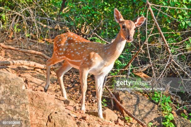 View of Spotted deer, Axis axis, at Koneswaram Kovil.