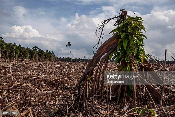 A view of stumps in recently deforested of peat natural forest located on the concession of PT RAPP a subsidiary of APRIL group which is being...