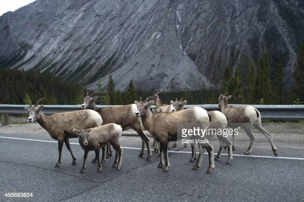 View of the Canadian Rockies with wild goats on September 4 2014 in Banff National Park Alberta Canada