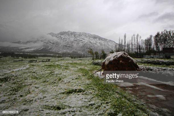 A view of the damaged crops in Tral area of South Kashmirs Pulwama district in Indian Controlled Kashmir on Thursday April 6 2017 The heavy downpour...