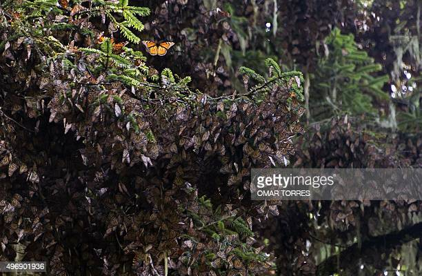 View of the first clusters of families of Monarch butterfly at the oyamel firs forest in Temascaltepec Mexico on November 12 2015 Monarch butterflies...