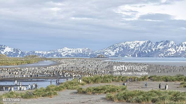 View of the King Penguin Colony on Salisbury Plain (South Georgia - Antarctica)