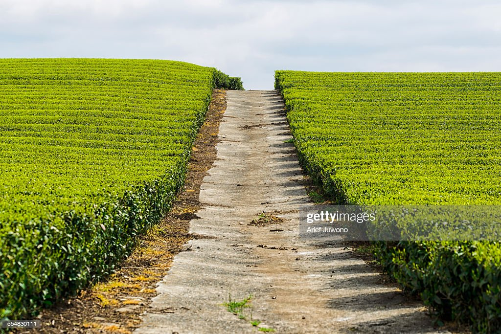 View of the tea gardens