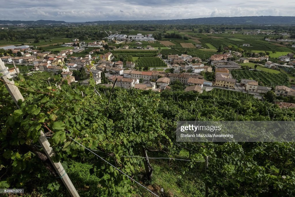 A view of the vineyard of Prosecco grapes is seen during the harvest on September 11, 2017 in Treviso, Italy. According to Coldiretti, the Italian agricultural lobby, British buyers drank 40 million liters of Prosecco in 2016 and spent more than 350 million euros on it, representing approximately 30% market growth for the year.
