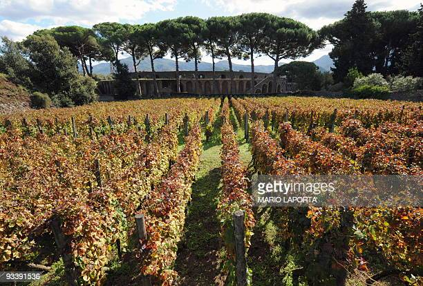 A view of the vineyards located in the ruins of ancient Pompei during the harvest on October 13 2009 The vineyards located on the same sites than...