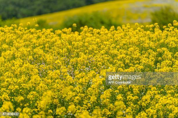 View of thousands of yellow flowers called Colza in Temuco some 680 km south of Santiago November 08 2017 / AFP PHOTO / MARTIN BERNETTI