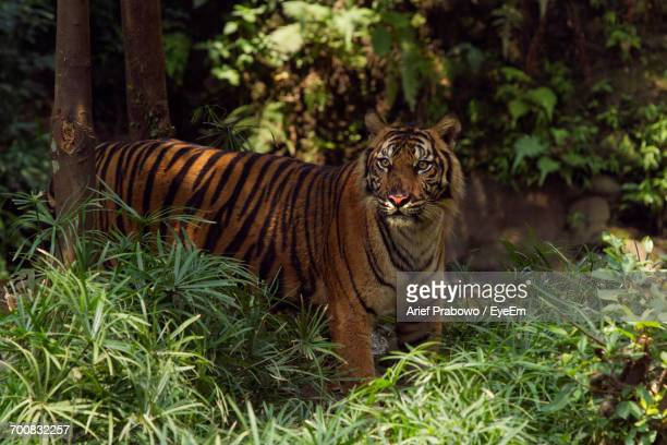 View Of Tiger In Forest