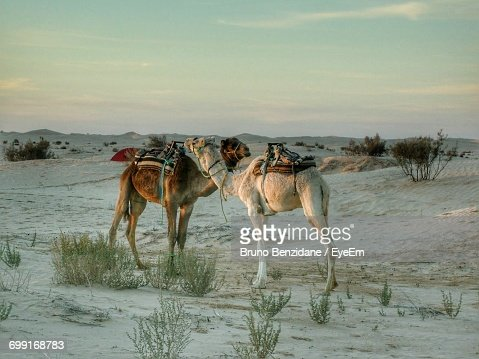 View Of Two Camels In Desert