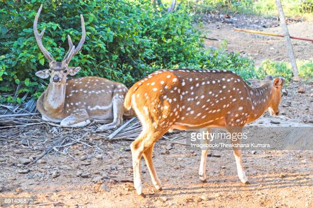 View of two deers at Koneswaram Kovil
