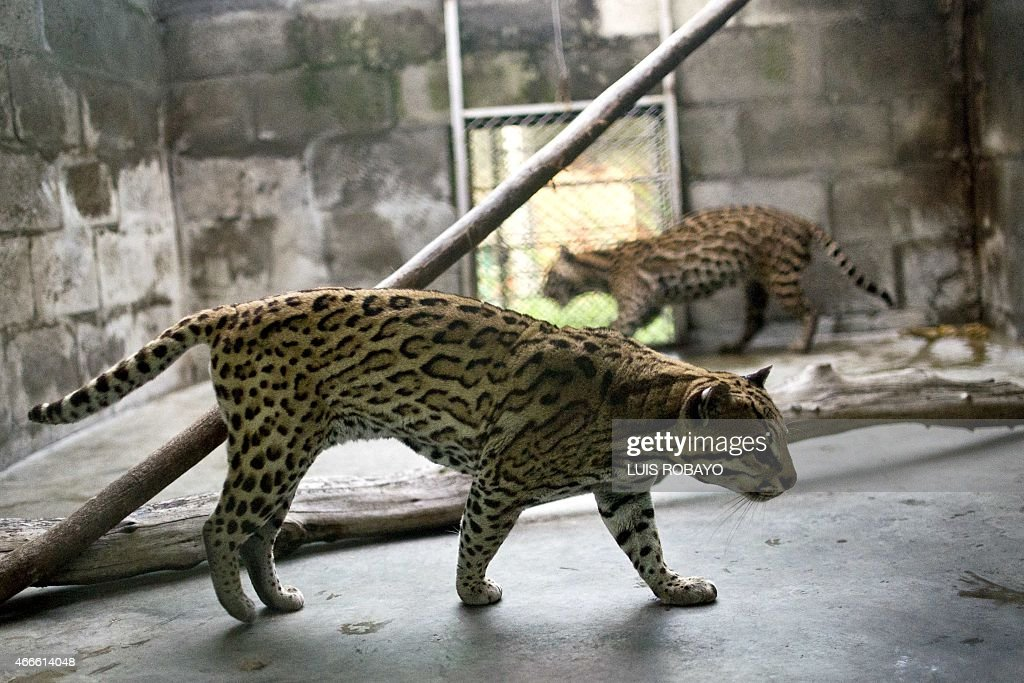 View of two ocelots at the state environmental agency Corporación Autonoma Regional del Valle del Cauca on March 17 in Palmira department of Valle...
