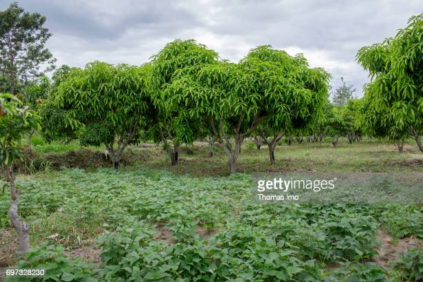 View over a mango farm on May 19 2017 in Ithanka Kenya