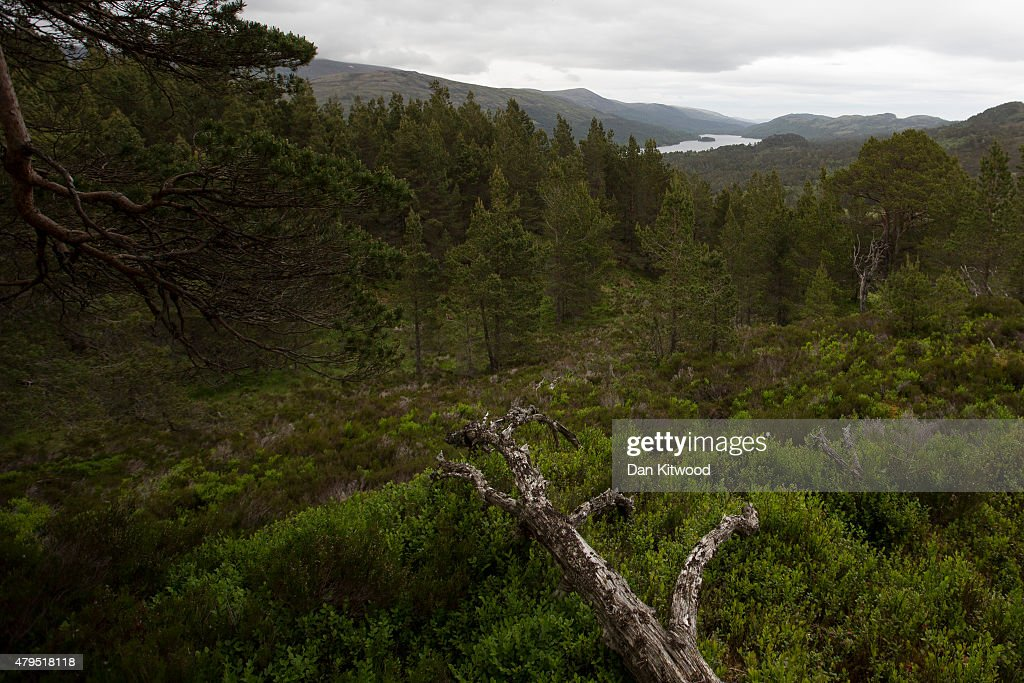 A view over the Highlands as a pair of seven and a half week old Golden Eagle chicks are GPS satellite tagged at a remote nest site near Loch Ness on...