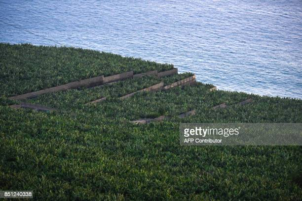 View taken on September 14 2017 of a banana plantation farm in La Bombilla near Tazacorte on the Canary Island of La Palma / AFP PHOTO / DESIREE...
