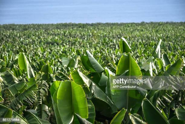 View taken on September 14 2017 of a banana plantation farm in Tazacorte on the Canary Island of La Palma / AFP PHOTO / DESIREE MARTIN