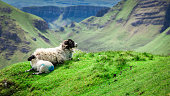 View to sheeps in Quiraing, Isle of Skye, Scotland