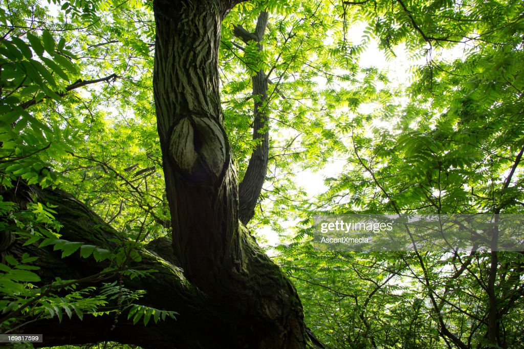 View upwards through hardwood forest in spring : Stock Photo