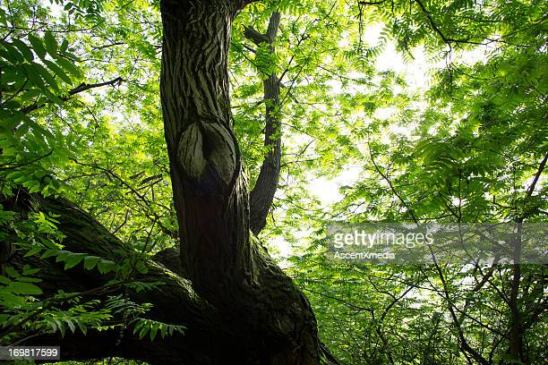 View upwards through hardwood forest in spring