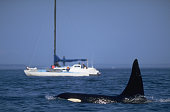 Viewing Orcas in Strait of Juan de Fuca